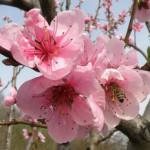 peach-blossom-tree